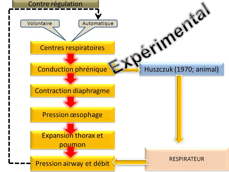 Expérimental Contre régulation Centres respiratoires