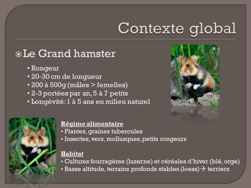 Contexte global Le Grand hamster Rongeur 20-30 cm de longueur