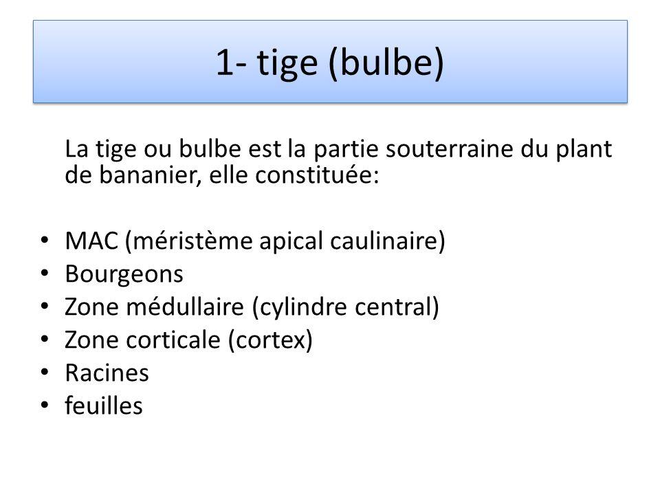 1- tige (bulbe) La tige ou bulbe est la partie souterraine du plant de bananier, elle constituée: MAC (méristème apical caulinaire)