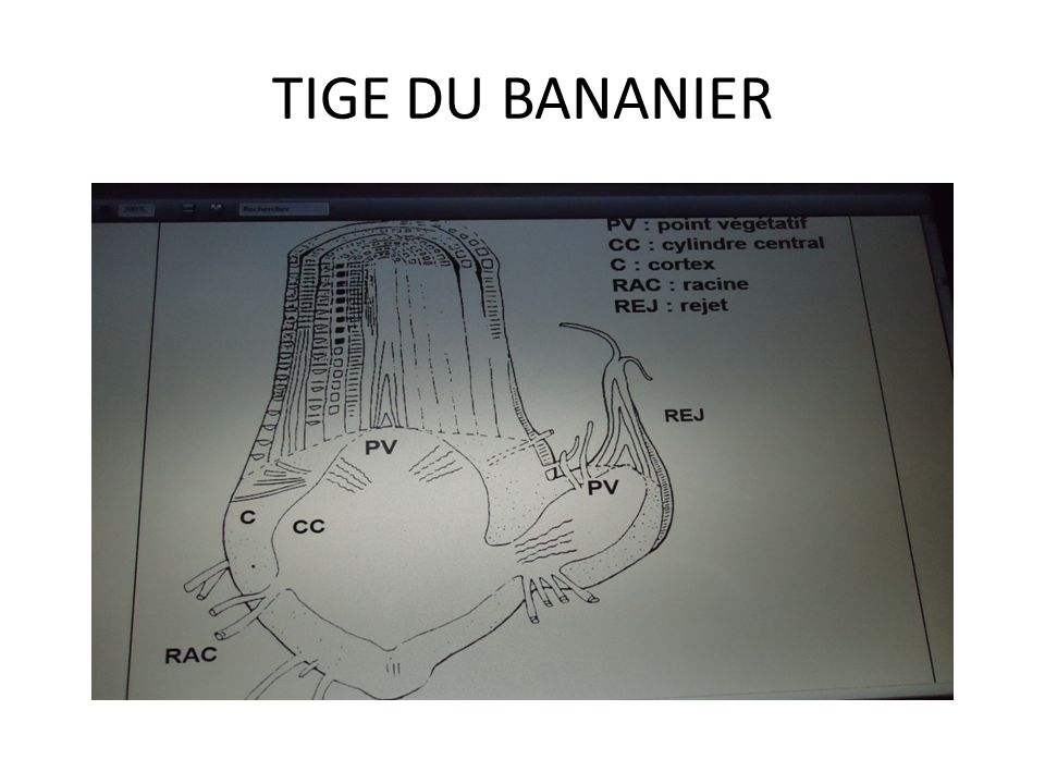 TIGE DU BANANIER
