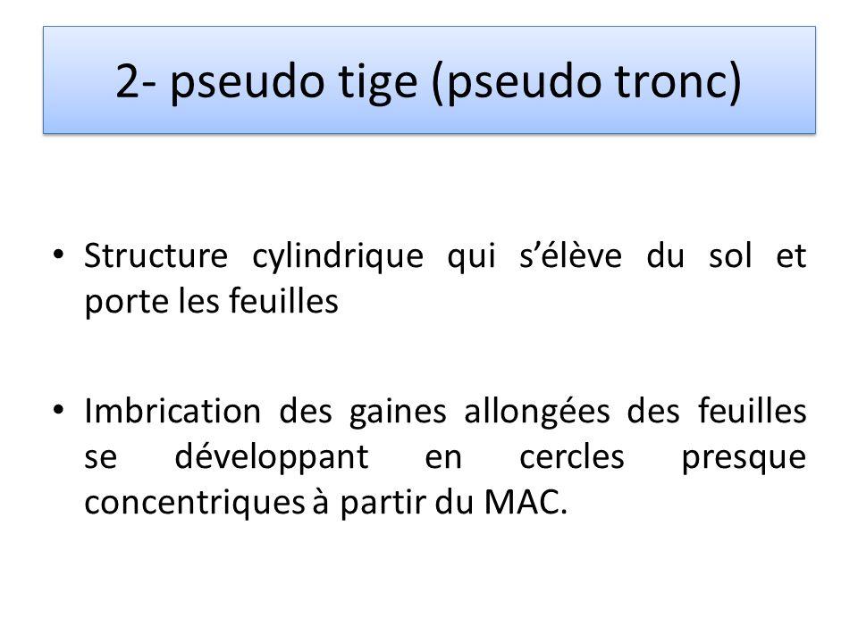 2- pseudo tige (pseudo tronc)