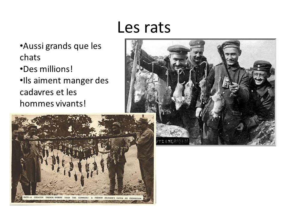 Les rats Aussi grands que les chats Des millions!