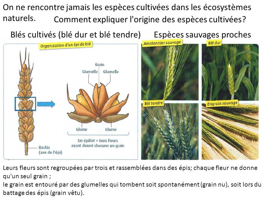 Comment expliquer l origine des espèces cultivées