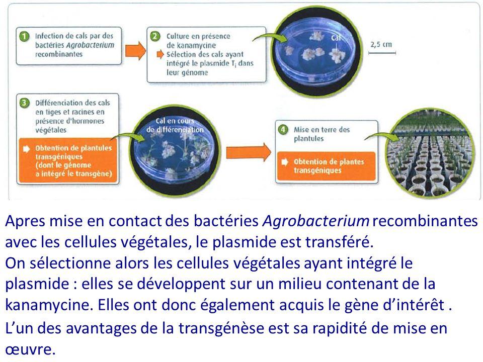 Apres mise en contact des bactéries Agrobacterium recombinantes avec les cellules végétales, le plasmide est transféré.