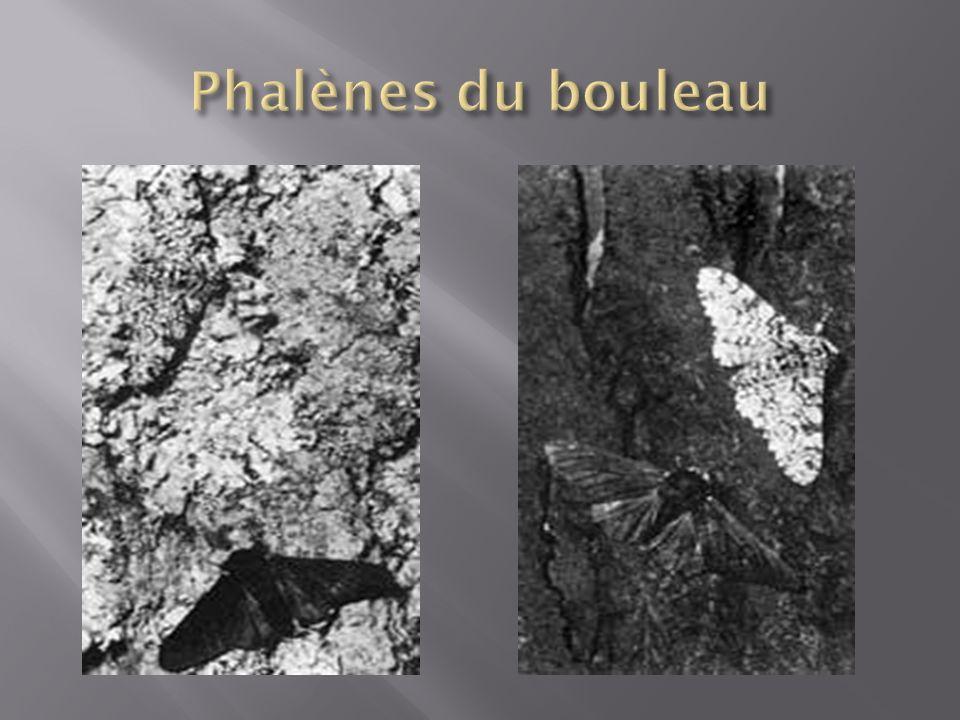 Phalènes du bouleau