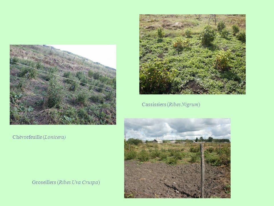 Cassissiers (Ribes Nigrum)