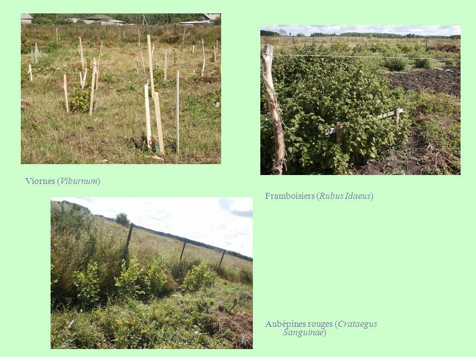 Framboisiers (Rubus Idaeus)