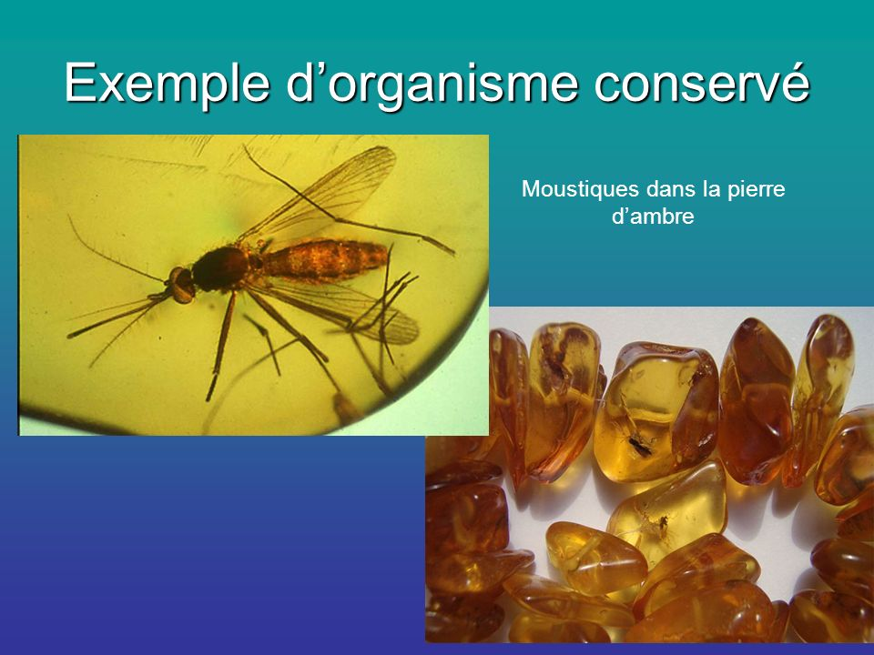 Exemple d'organisme conservé