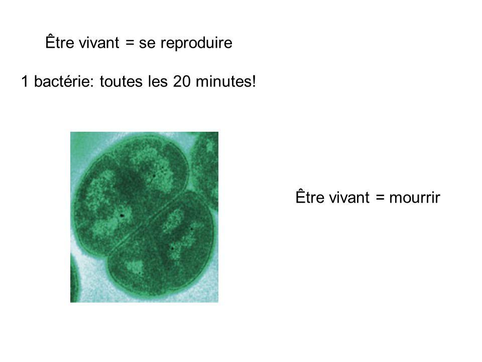 Être vivant = se reproduire 1 bactérie: toutes les 20 minutes!