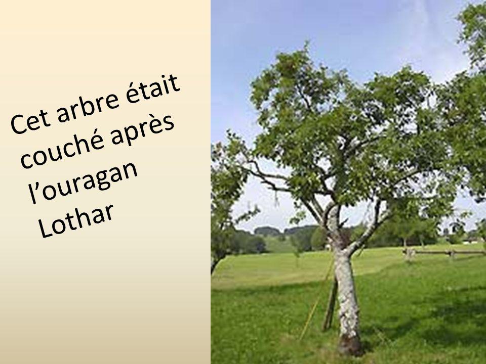 Cet arbre était couché après l'ouragan Lothar