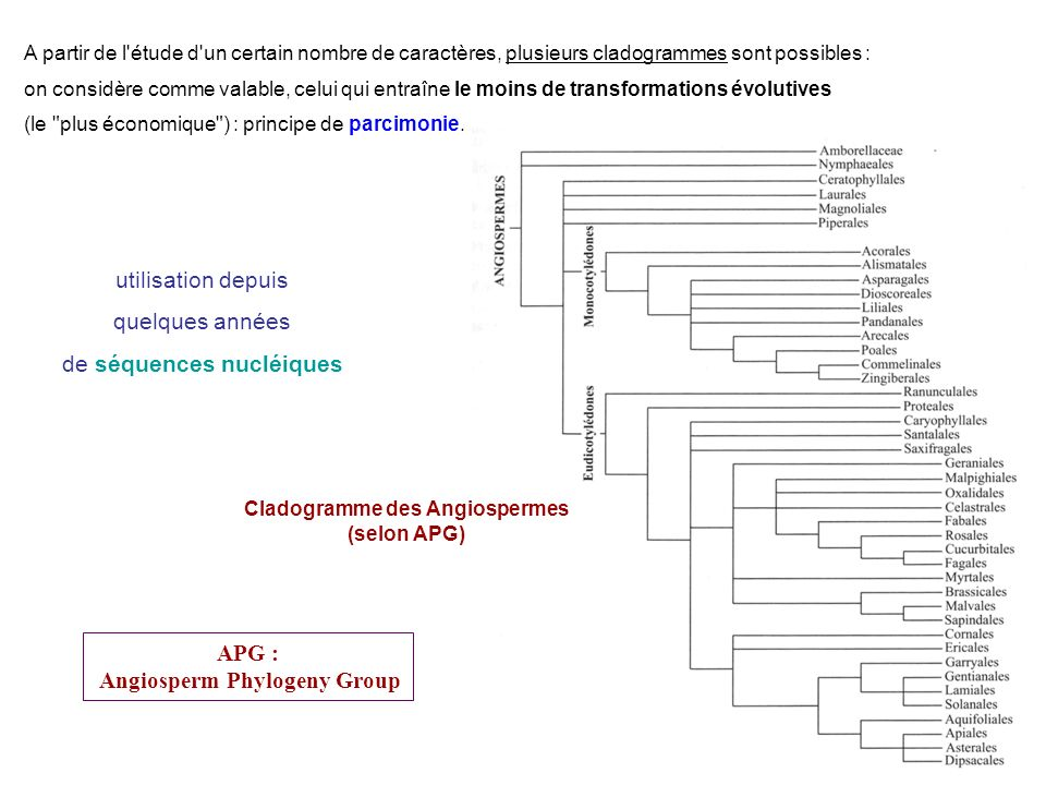 Cladogramme des Angiospermes Angiosperm Phylogeny Group