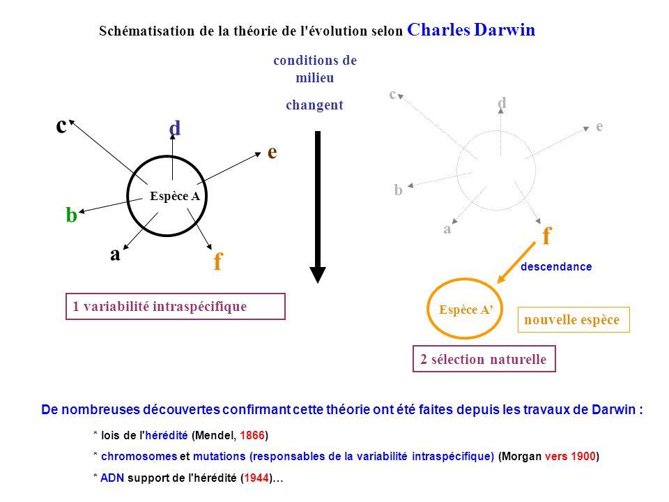 Schématisation de la théorie de l évolution selon Charles Darwin