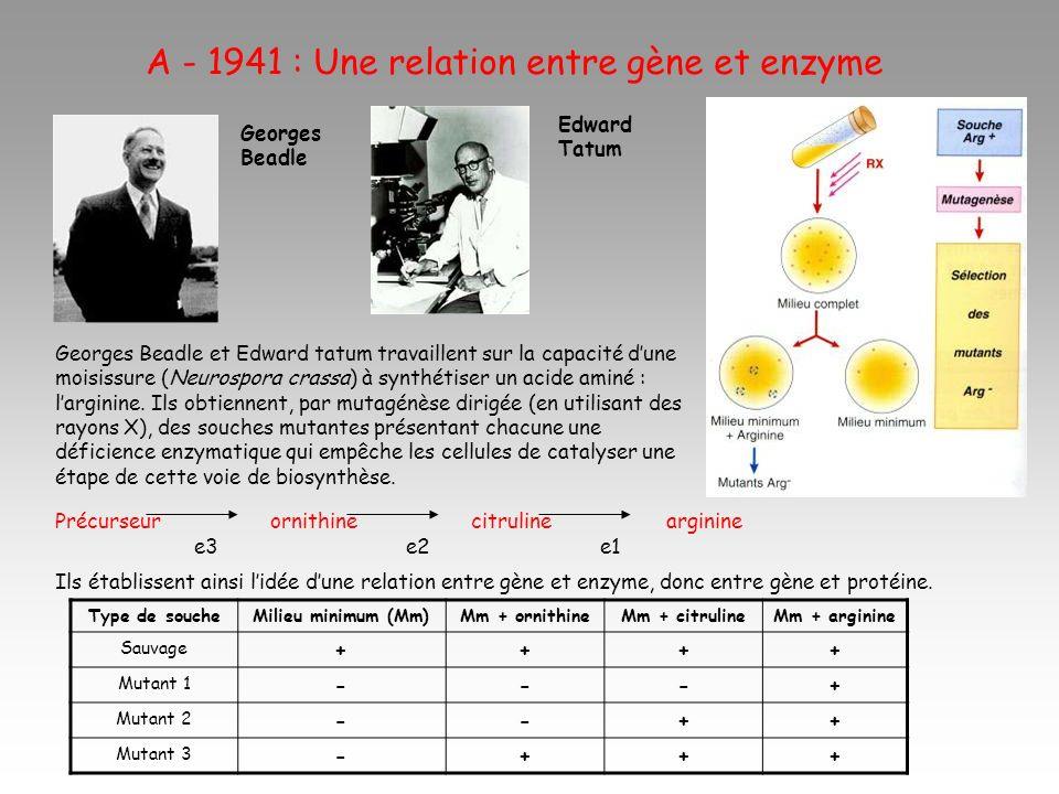 A - 1941 : Une relation entre gène et enzyme