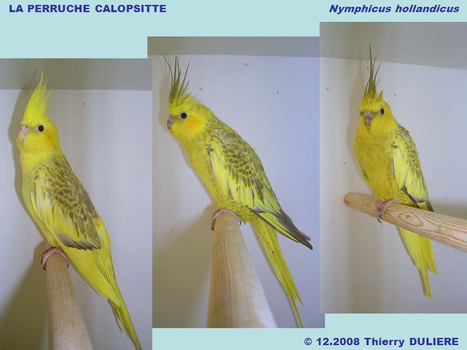 LA PERRUCHE CALOPSITTE Nymphicus hollandicus