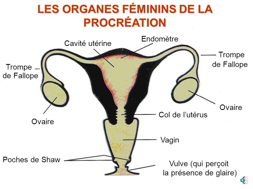 LES ORGANES FÉMININS DE LA PROCRÉATION