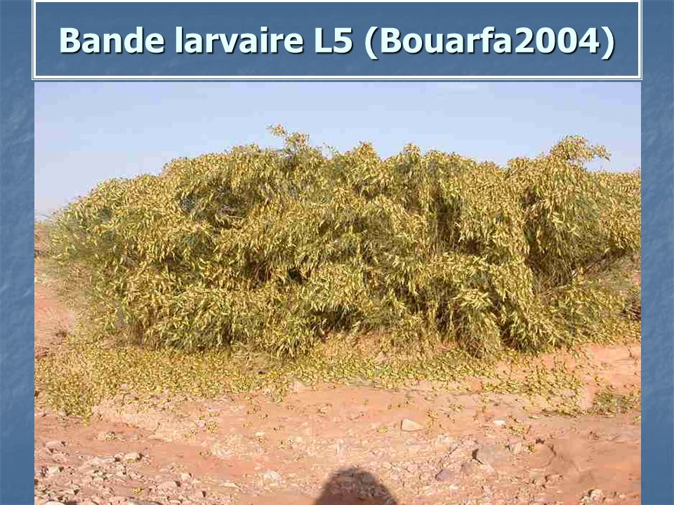 Bande larvaire L5 (Bouarfa2004)