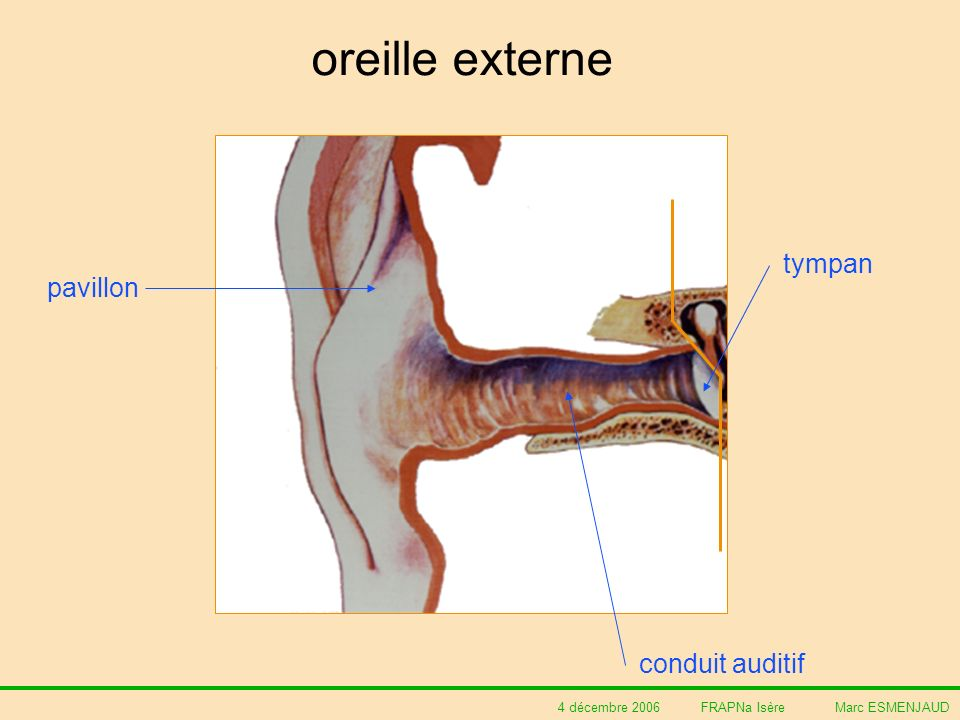 oreille externe tympan pavillon conduit auditif