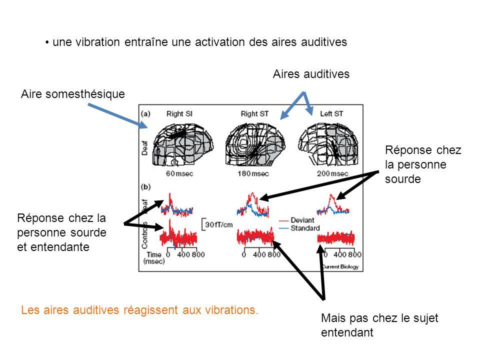 une vibration entraîne une activation des aires auditives