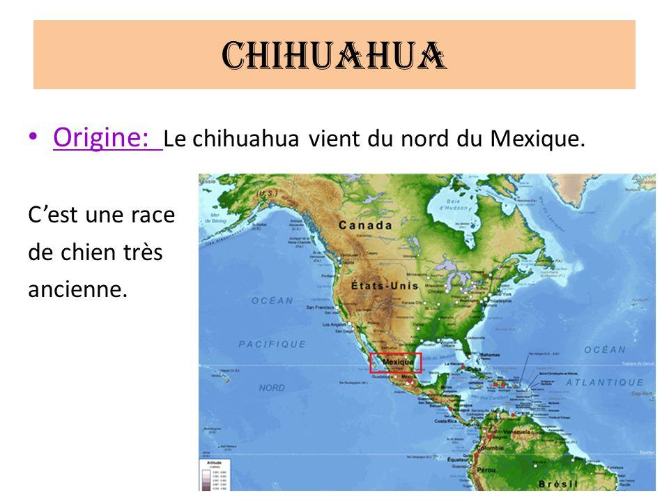 Chihuahua Origine: Le chihuahua vient du nord du Mexique.