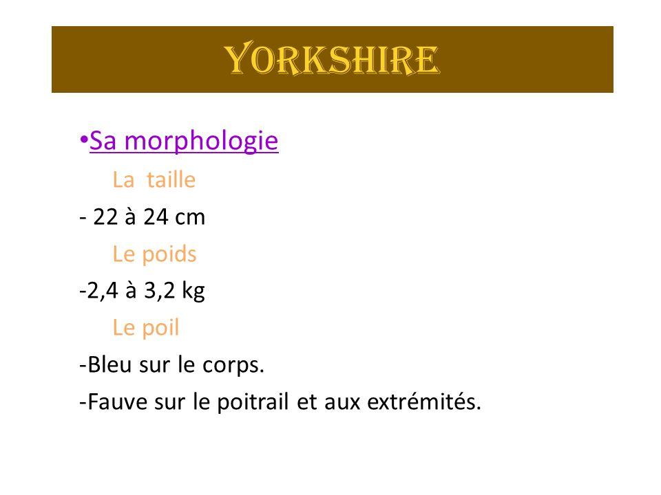 Yorkshire Sa morphologie La taille - 22 à 24 cm Le poids -2,4 à 3,2 kg