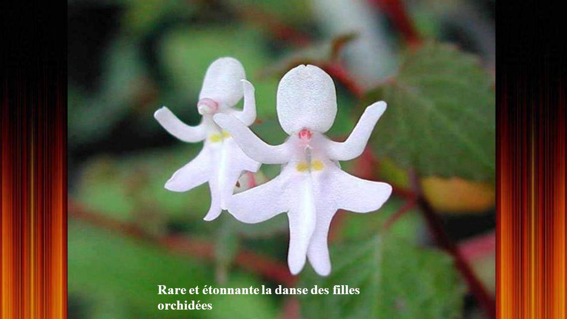 Rare et étonnante la danse des filles orchidées