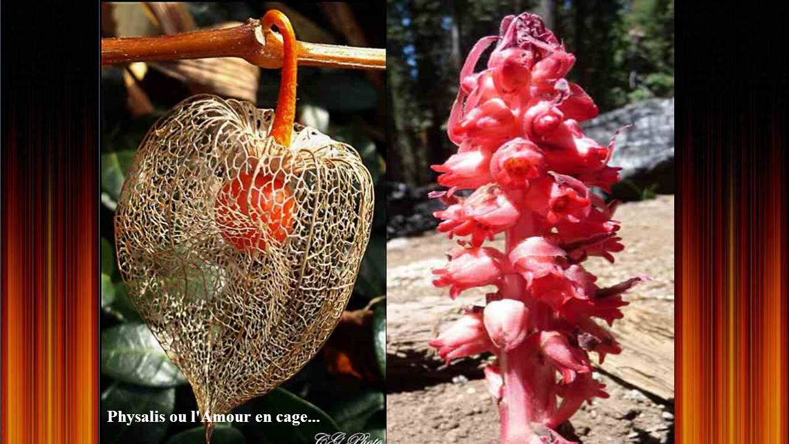 Physalis ou l Amour en cage...