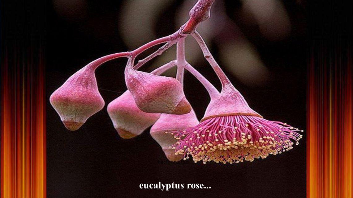 Eucalyptus rose... eucalyptus rose...