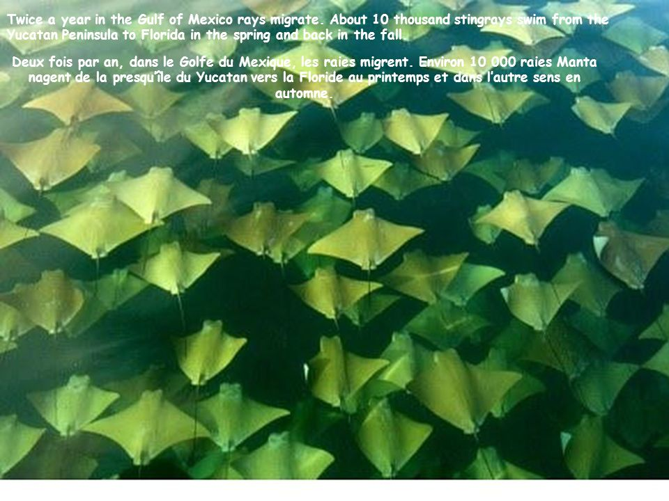 Twice a year in the Gulf of Mexico rays migrate