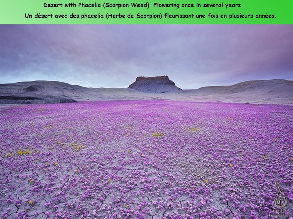 Desert with Phacelia (Scorpion Weed). Flowering once in several years.