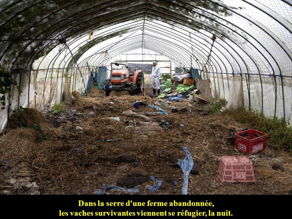 Dans la serre d une ferme abandonnée, les vaches survivantes viennent se réfugier, la nuit.