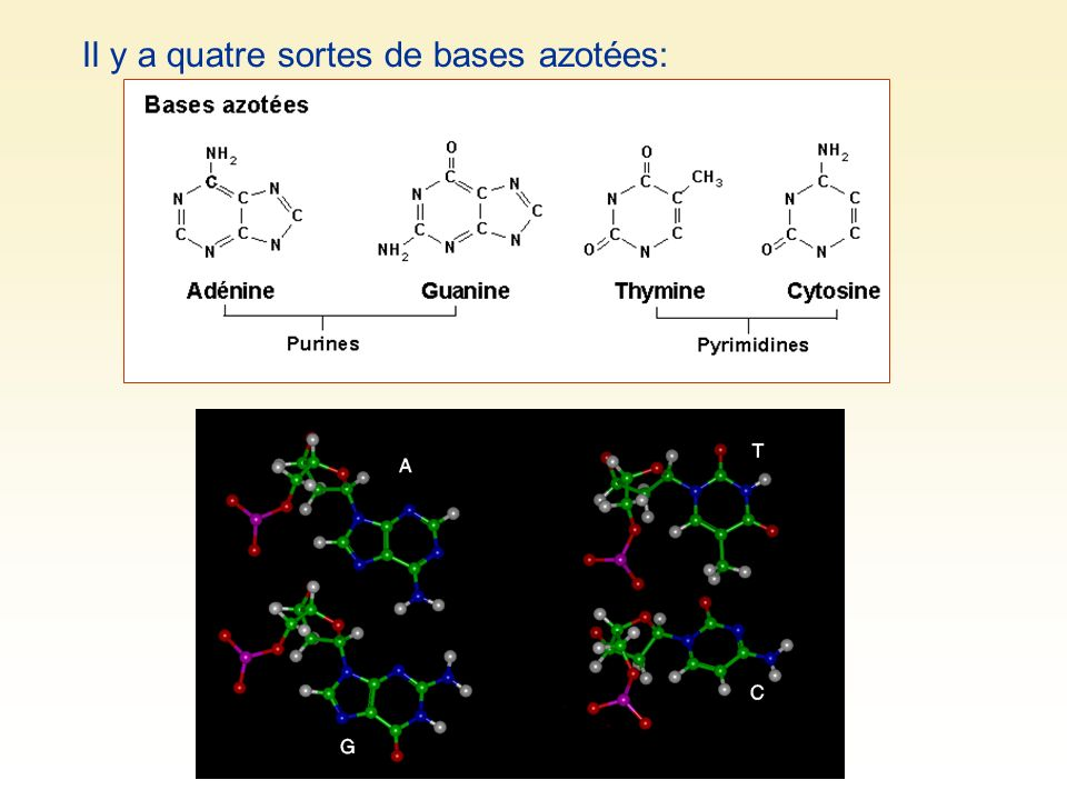 Il y a quatre sortes de bases azotées: