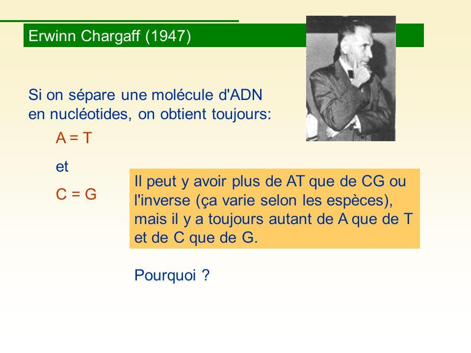 Erwinn Chargaff (1947) Si on sépare une molécule d ADN en nucléotides, on obtient toujours: A = T.