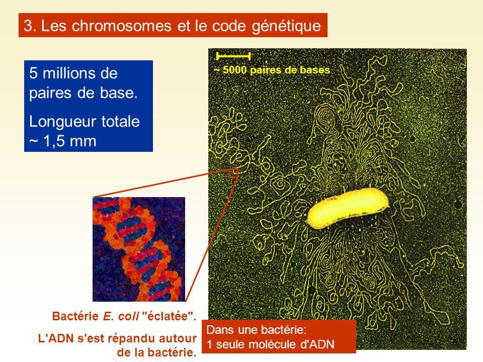 3. Les chromosomes et le code génétique