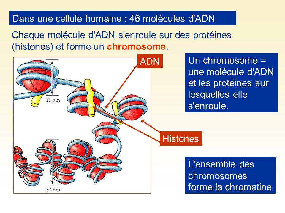Dans une cellule humaine : 46 molécules d ADN