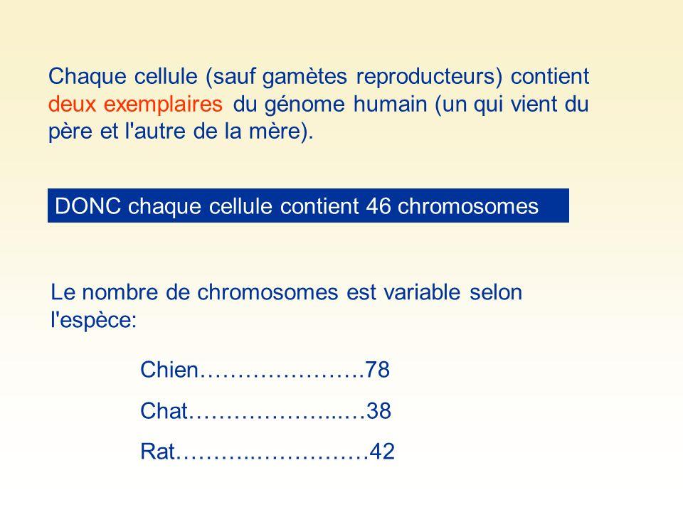 Chaque cellule (sauf gamètes reproducteurs) contient deux exemplaires du génome humain (un qui vient du père et l autre de la mère).