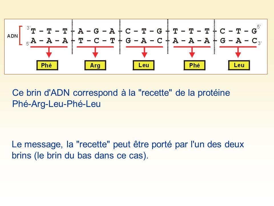 Ce brin d ADN correspond à la recette de la protéine Phé-Arg-Leu-Phé-Leu