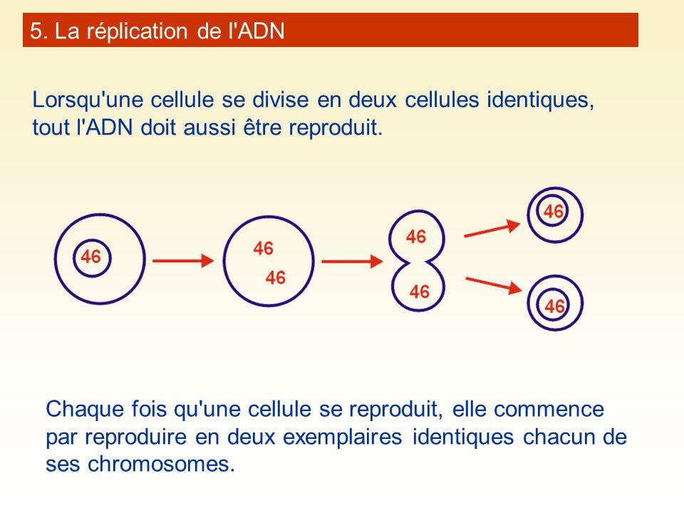 5. La réplication de l ADN Lorsqu une cellule se divise en deux cellules identiques, tout l ADN doit aussi être reproduit.