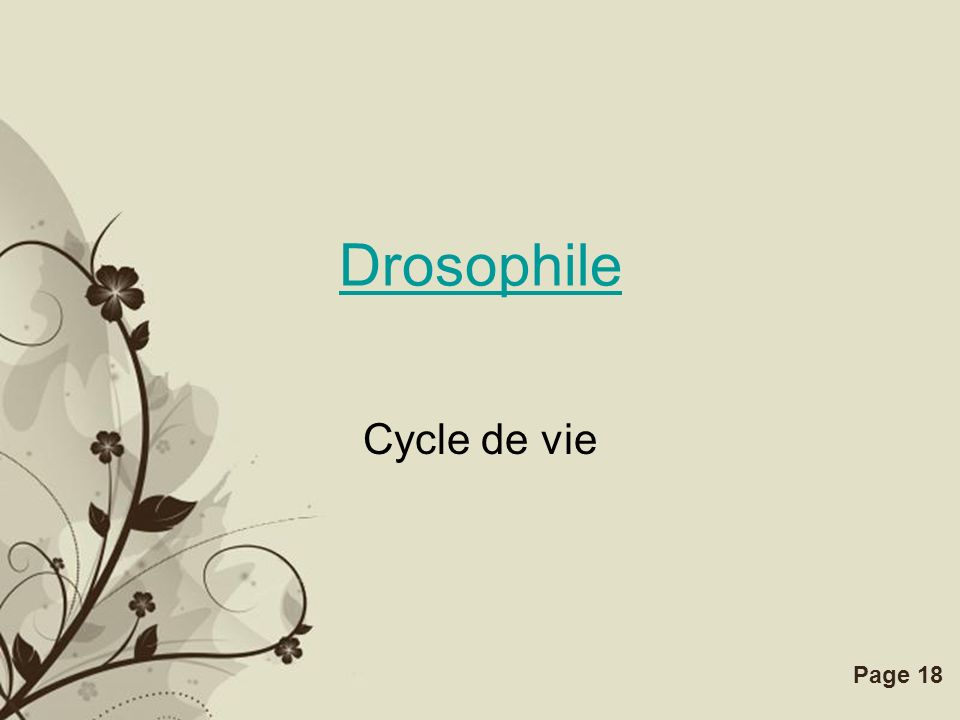 Drosophile Cycle de vie