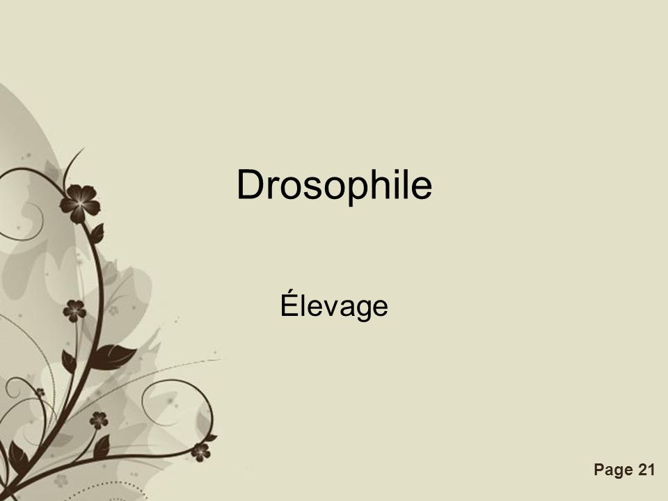 Drosophile Élevage.
