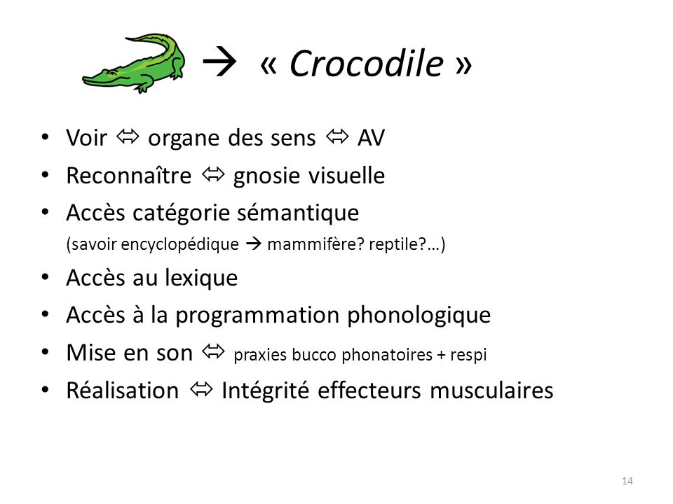  « Crocodile » Voir  organe des sens  AV