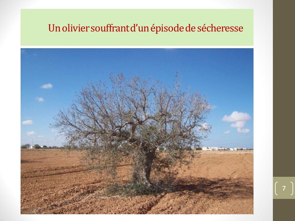 Un olivier souffrant d'un épisode de sécheresse