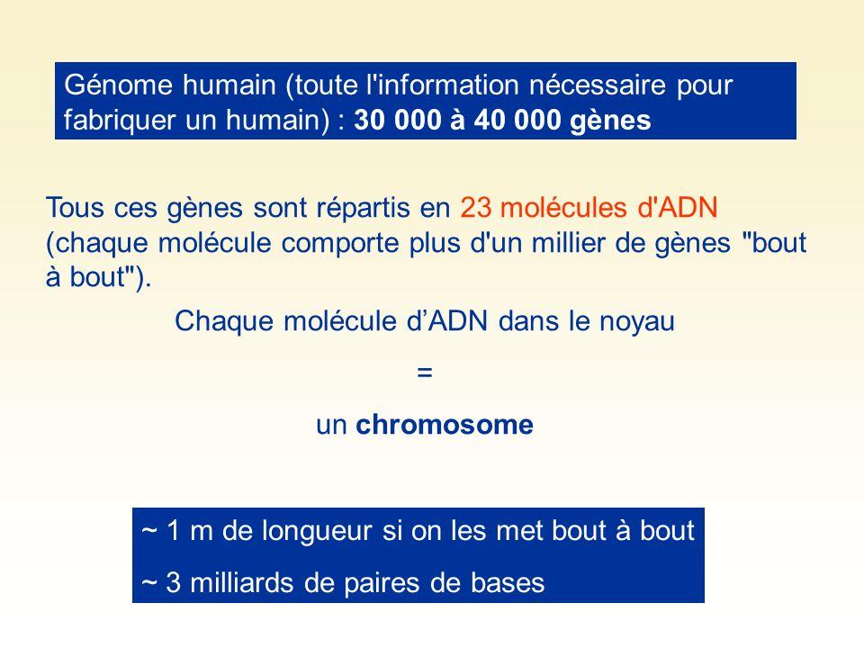 Chaque molécule d'ADN dans le noyau