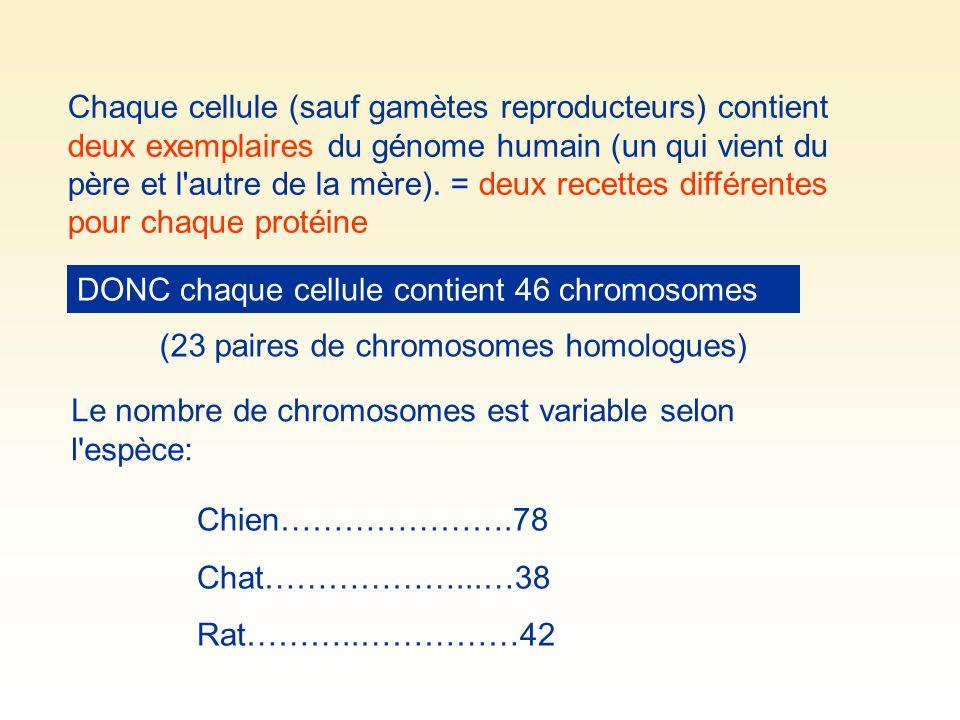 Chaque cellule (sauf gamètes reproducteurs) contient deux exemplaires du génome humain (un qui vient du père et l autre de la mère). = deux recettes différentes pour chaque protéine