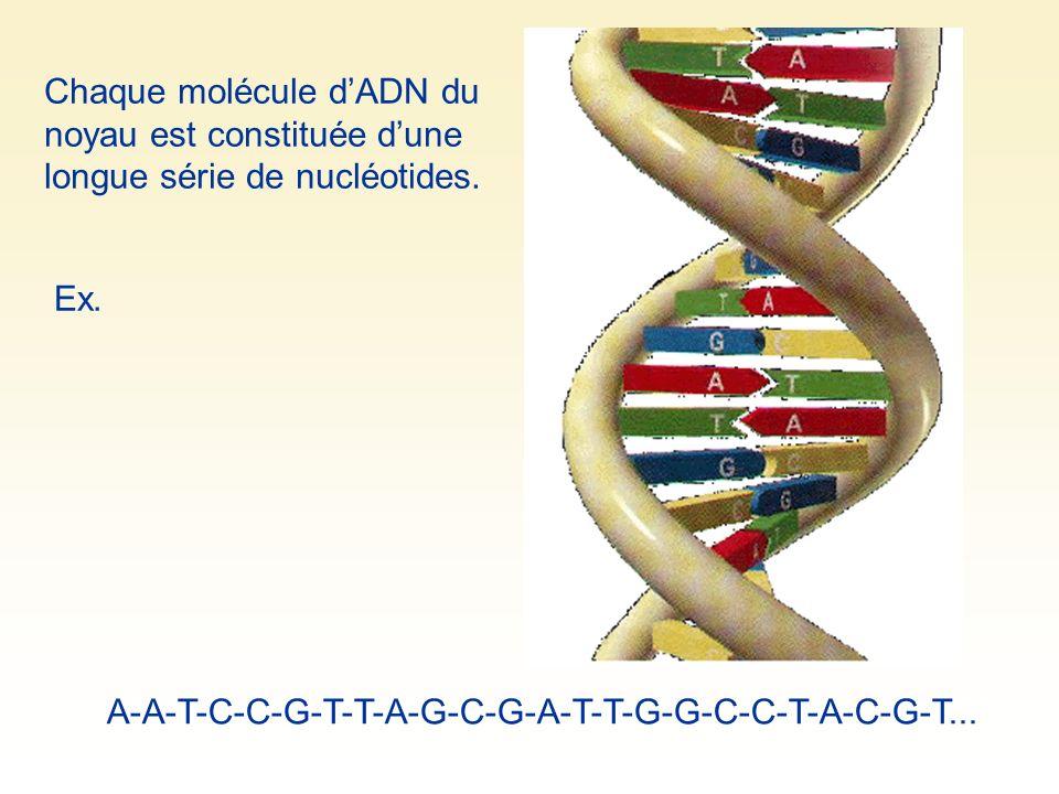 Chaque molécule d'ADN du noyau est constituée d'une longue série de nucléotides.