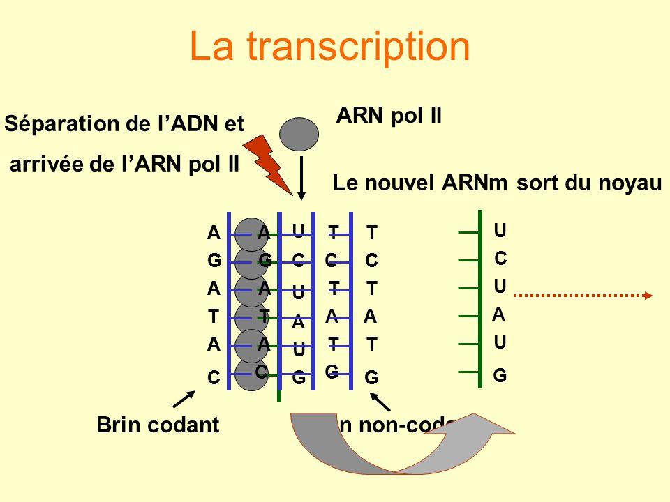 Le nouvel ARNm sort du noyau
