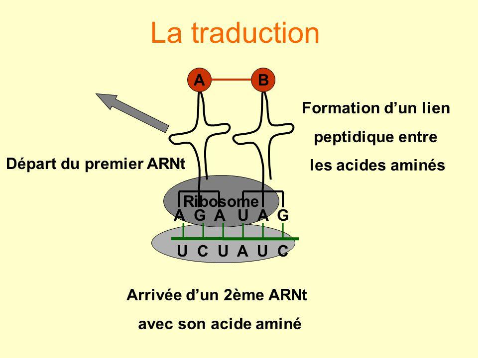 La traduction A G A A U A G B Formation d'un lien peptidique entre