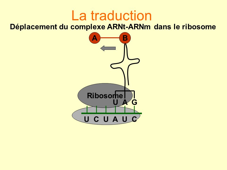 Déplacement du complexe ARNt-ARNm dans le ribosome
