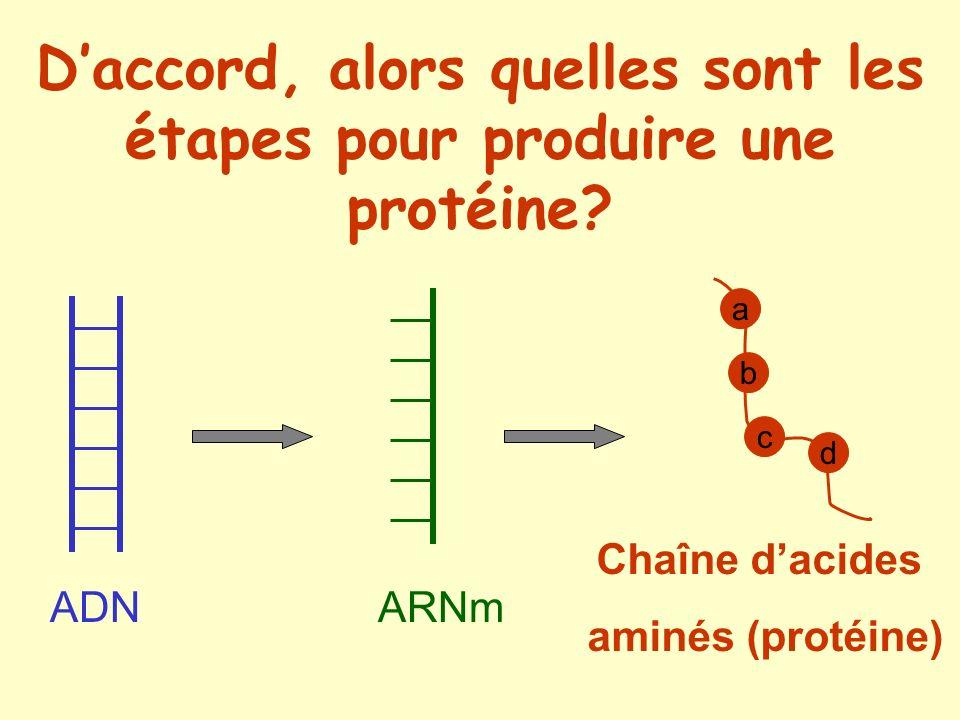 D'accord, alors quelles sont les étapes pour produire une protéine