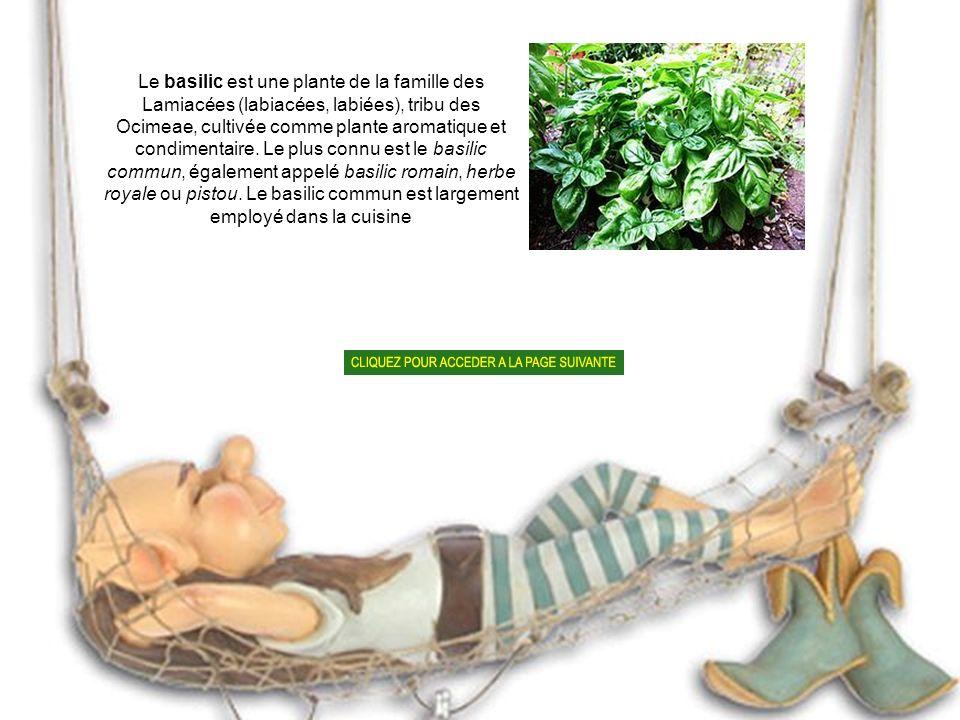 Le basilic est une plante de la famille des Lamiacées (labiacées, labiées), tribu des Ocimeae, cultivée comme plante aromatique et condimentaire.