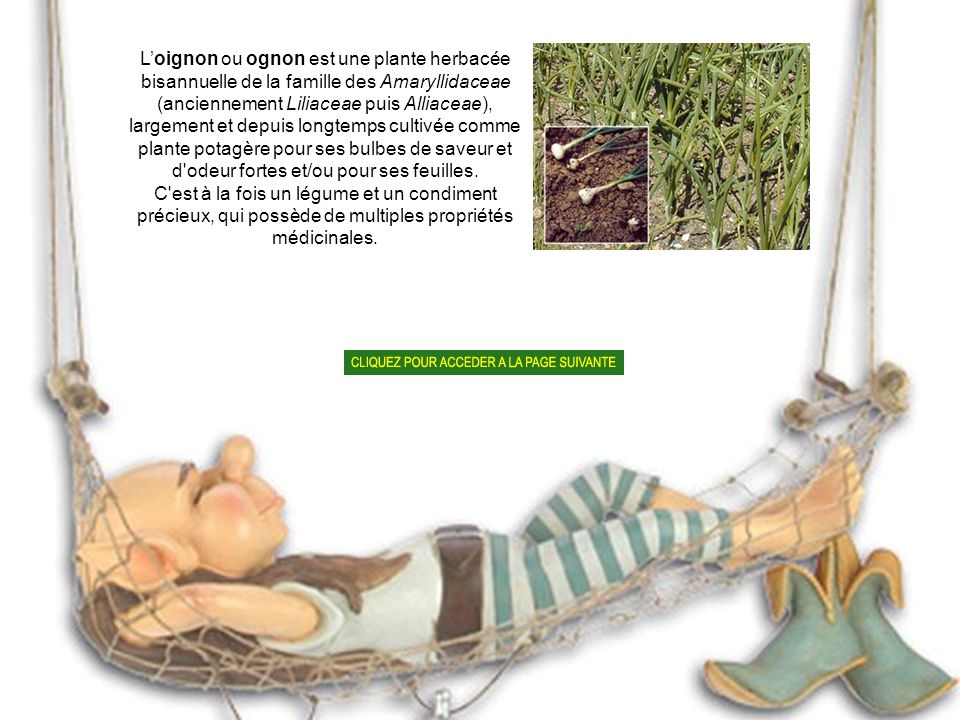 L'oignon ou ognon est une plante herbacée bisannuelle de la famille des Amaryllidaceae (anciennement Liliaceae puis Alliaceae), largement et depuis longtemps cultivée comme plante potagère pour ses bulbes de saveur et d odeur fortes et/ou pour ses feuilles.